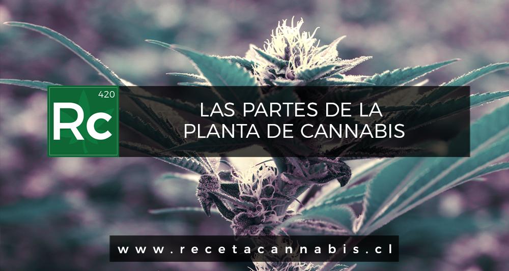 Las Partes de la Planta de Cannabis | Receta Cannabis Blog