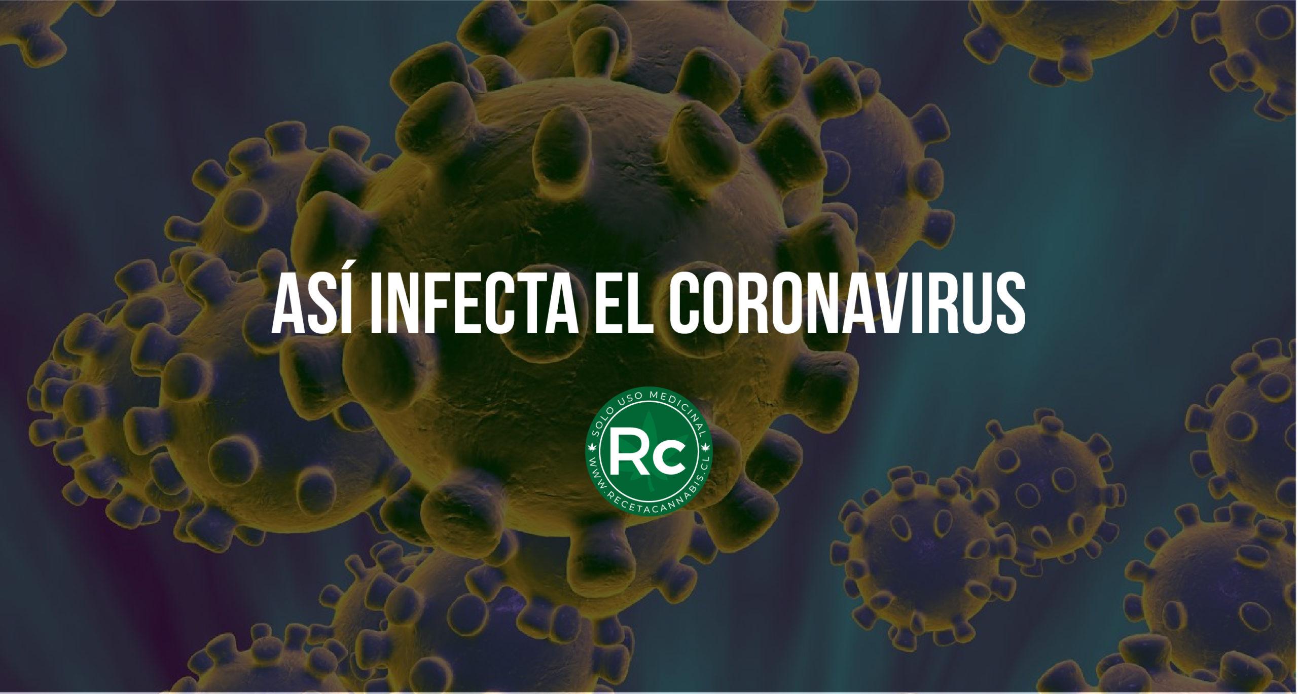 asi_infecta_el_coronavirus-05